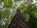 Osamělá borovice v bukové habřině.