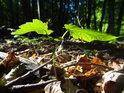 Prosluněné zelené lístečky na uschlém podloží v nitru lesa.