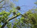 Jmelí se uchytí na různých druzích stromů.