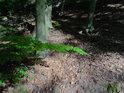 Sytě zelené bukové listy při úpatí několika buků.