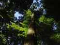 Průhled k lesní obloze mezi sytě zelenými bukovými listy.