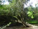 Vrba i po pádu dále žije a tvoří přirozené přemostění Únětického potoka.