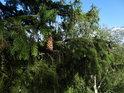Šiška na zeleném smrku je ve velké výšce stromu, ale toto je pohled ze skály vedle.