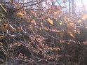 Loňské bukové listí v jarním Slunci.