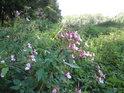 Netýkavka žlaznatá je častou rostlinou v mokřadech, někdy je jí až příliš.