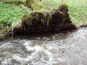 Vyvrácená vrba svými kořeny dále zpevňuje levý břeh Vortovského potoka.