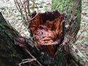 Olšový pařez, tedy spíše polom dává znát načervenalou barvu olšového dřeva.