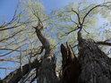 Pohled do korun skupiny vrb, z nichž jedna je ulomená větrem.