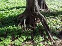 Vzdušné kořeny olše napovídají o často se měnících poměrech.
