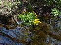 Blatouch svojí barvou významně obohacuje prostředí většinou temnějšího luhu.