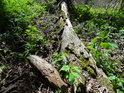 Padlá vrba postupně obrůstá a zarůstá.