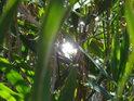 Kousek slunečního svitu mezi rákosím.
