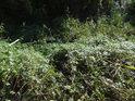 Nízké ostružiní mezi rákosím a to vše zalité podzimními slunečními paprsky.