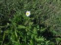 Kopretina drží květ ještě v půli října.