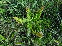 I houževnatý plevel může být podzimem krásně zbarvený.