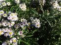 Včelka ještě v půli října sbírá pyl z květů.