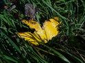 Velice sytě žlutý javorový list je skutečně barevně výrazný.