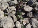 Ostružina se mezi kameny hráze nedávno vypuštěného rybníka má čile k životu, zajisté též dočasného.