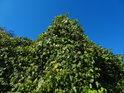 Zelený chmel vůči modré obloze.