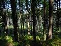 Prosluněný smrkový les s bukovým podložím.