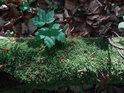 Zátiší mechem obrostlé na zemi ležící větve na starém bukovém listí.