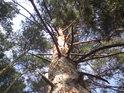 Ztepilá borovice na pokraji lesa.