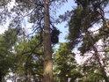 Chuchvalec na borové větvi vypadá jako jmelí.