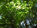 Sluncem prosvětlené listy javorů.