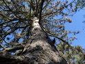 Pohled do koruny menší borovice v slepencové stráni.