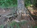Kořen je sice pevný, ale eroze je asi ještě silnější.