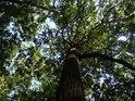 Pohled do koruny přímého dubu v lese.