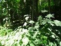 Mladé javory jako podrost na kraji lesa.