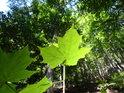 Prosluněný bukový list před bukovým lesem.