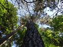 Pohled do koruny přímé vysoké borovice pod Velkým Blaníkem.