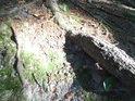 Sluneční flek na smrkovém kořeni pod Velkým Blaníkem.