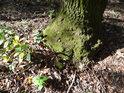 Sluncem osvětlená a mechem porostlá pata stromu.