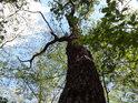 Dub ještě velkým pamětníkem není, ale za pár stovek let může být vše jinak.