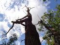 Uschlý dub nahoře na Velkém Hájku.
