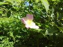 Nádherný květ šípkové růže.