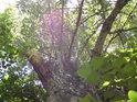 Topoly patří k majestátným obyvatelům luhů, pohleďme jednomu z nich do koruny.