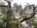 Za souškou buku se zelená listí jiného buku mladšího a za ním pak dosti pokřivené borovice.