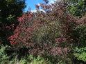 Do podzimních barev se chystající křoví.