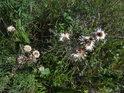 Suché květy pcháčů.