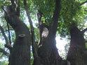 Pohled do koruny košatého stromu dokáže uklidnit bolavějící lidskou duši alespoň na okamžik.