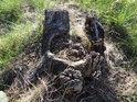 Pařez po stromu, který nejprve vyhnil zevnitř a poté byl uříznut.
