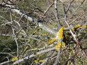 Dvě barvy lišejníku na uschlé větvičce.