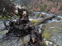 Kořání padlého stromu v Bučinským potoce, vrchol stromu zasahuje do Stříbrného potoka.