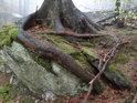 Smrk na levém břehu Stříbrného potoka si se svými kořeny našel cestu, jak s uchytit za mohutným balvanem.