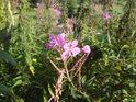 Louky kolem Volákova kopce hostí spoustu květeny.
