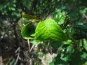 Nádherně sytě zelený list na křoví se jeví napadený.